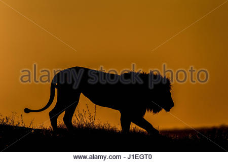 Silhouette of a lion, Panthera leo, walking at sunset in Botswana's Okavango Delta. - Stock Photo