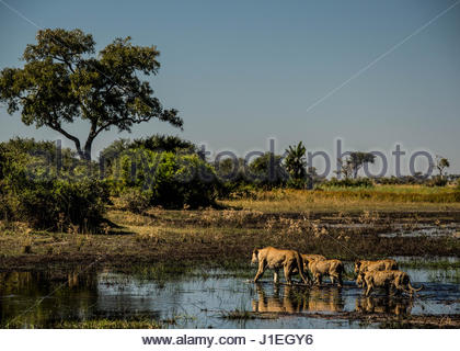 A pride of lions, Panthera leo, walking on a flooded plain in Botswana's Okavango Delta. - Stock Photo