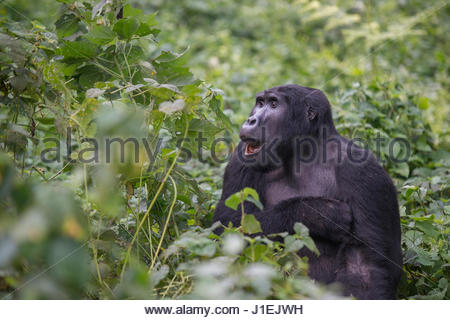 An adult mountain gorilla, gorilla beringei beringei, eating in a field of nettles. - Stock Photo