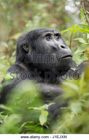 Profile of an adult mountain gorilla, gorilla beringei beringei. - Stock Photo