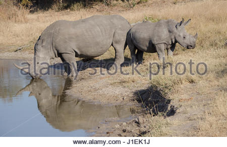 Mother and calf white rhinoceroses, Ceratotherium simum, at watering hole. - Stock Photo