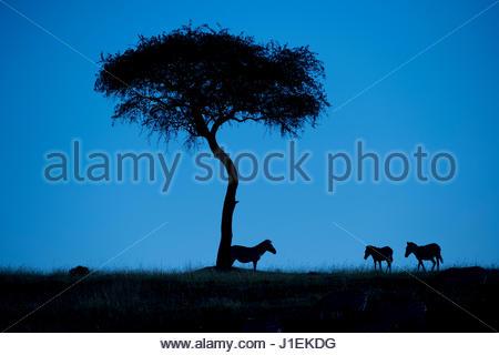 Silhouette of zebras, Equus quagga, standing by an acacia tree. - Stock Photo