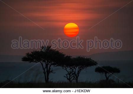 Acacia trees under the setting sun in Maasai Mara National Reserve. - Stock Photo