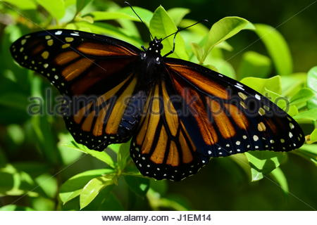 Close up of a monarch butterfly, Danaus plexippus. - Stock Photo