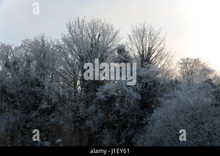 Tall trees covered in frost on a winter's morning at Christmas time - Stock Photo