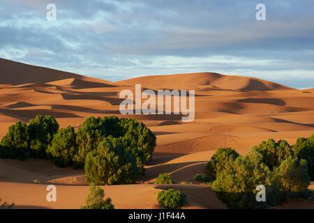 Vegetation growing amongst the sand dunes of the Sahara Desert at Erg Chebbi in Morocco, North Africa - Stock Photo