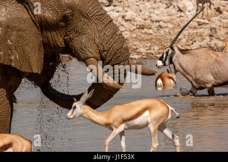 Elephant and Springbok at Okaukuejo Waterhole, Etosha National Park, Namibia - Stock Photo