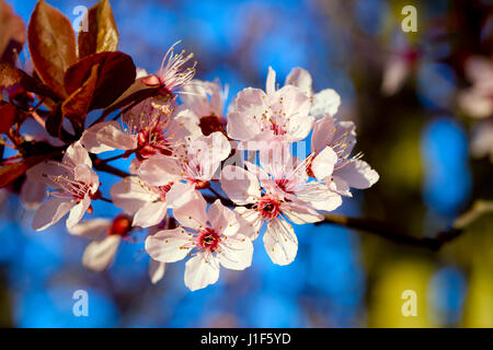 Branch of beautiful spring blossoming twig clusters with pale pink petals with a bright red heart, long stamens - Stock Photo