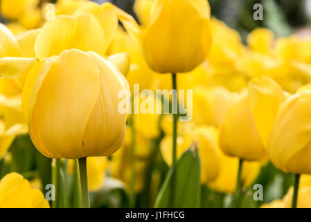Yellow Tulip, Beautiful bouquet of tulips, colorful tulips, Yellow tulips in spring with soft focus - Stock Photo