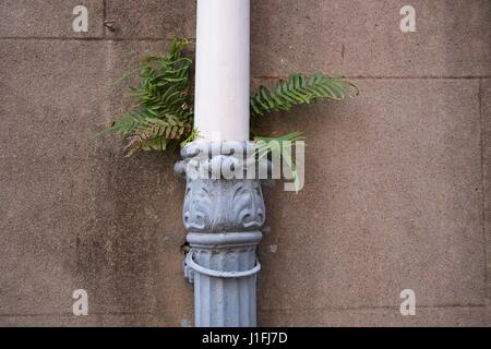 A fern plant grows out of a drainage downspout along a wall  in the historic district of Charleston, South Carolina. - Stock Photo
