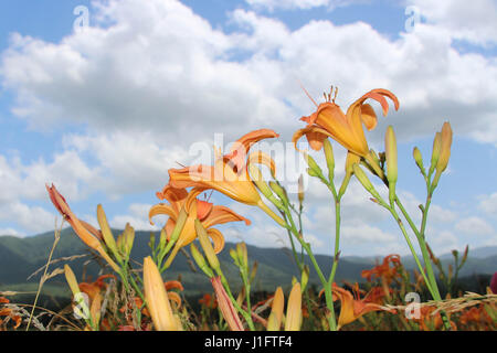 Field of Lillies with Blue Sky and White Clouds in Background - Stock Photo