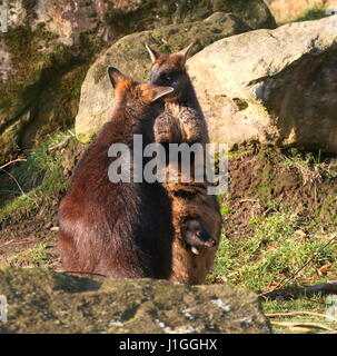 Swamp Wallaby joey (Wallabia bicolor) in his mother's pouch. A.k.a. Black Pademelon or East Australian Black-tailed - Stock Photo