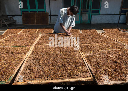Man drying tobacco leaves in the sun in rural Java, Indonesia. © Reynold Sumayku - Stock Photo