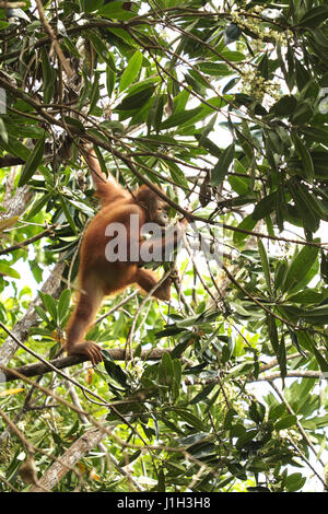 Young male Orang Utan exploring its senses such as smelling. - Stock Photo