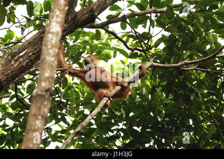 Young Orang Utan roaming in the wild rainforest of Borneo. - Stock Photo