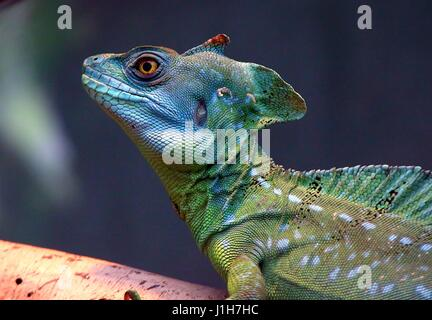 Male Central American Green or Plumed basilisk (Basiliscus plumifrons), a.k.a. double crested basilisk - Stock Photo