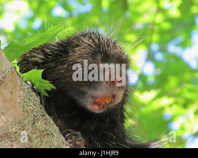 Porcupine in tree at Kejimkujik NP - Stock Photo