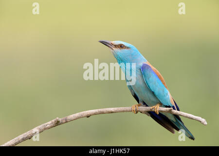 European Roller (Coracias garrulus) adult, perching on a branch, Hortobagy national park, Hungary. - Stock Photo