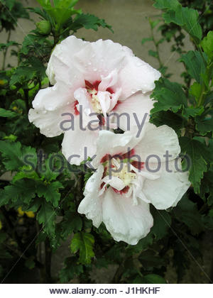 hibiscus syriacus red heart flower stock photo royalty. Black Bedroom Furniture Sets. Home Design Ideas