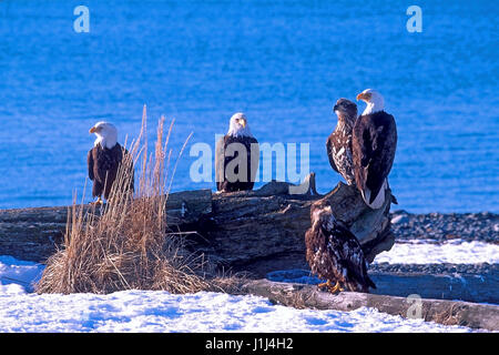 Group of mature Bald Eagles with young animals, sitting together on beach logs near the water. Kachemak Bay Alaska - Stock Photo