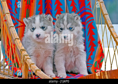 Two six week old  Siberian Husky puppies sitting together in dogsled - Stock Photo