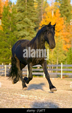 Young Frisian Stallion trotting in paddock - Stock Photo