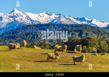 Sheep in a green meadow and snowy mountains in the background in the Southern Scenic Route, New Zealand - Stock Photo