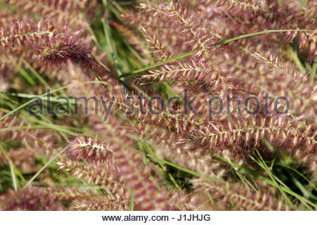 oriental fountain grass pennisetum orientale backlit by sun stock photo royalty free image. Black Bedroom Furniture Sets. Home Design Ideas