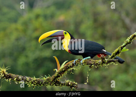 Chestnut-mandibled Toucan in Costa Rica rain forest - Stock Photo