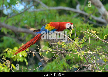 Scarlet Macaws in Corcovado National Park Costa Rica - Stock Photo