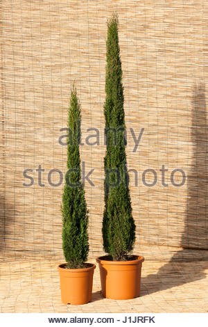 CUPRESSUS SEMPERVIRENS \'TOTEM MIX\' Stock Photo, Royalty Free Image ...