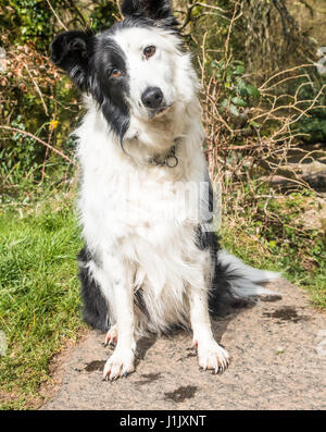 Border collie sitting with head on one side looking quizzical - Stock Photo