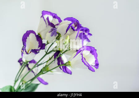 White with mauve violet margins Lisianthus (Eustoma grandiflorum) flowers, close up, isolated. - Stock Photo