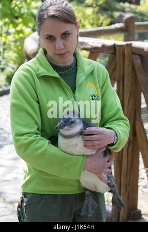 Budapest, Hungary. 21st Apr, 2017. A staff member holds a four-month-old penguin called Tifani at the Budapest Zoo - Stock Photo