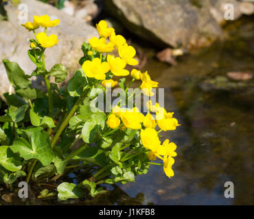 Yellow kingcup flowers at the water of a pond - Stock Photo