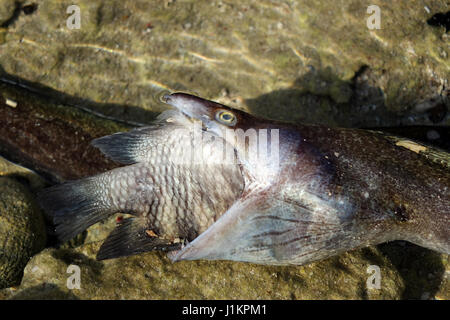 Moray eal captured a  big fish, both died. - Stock Photo
