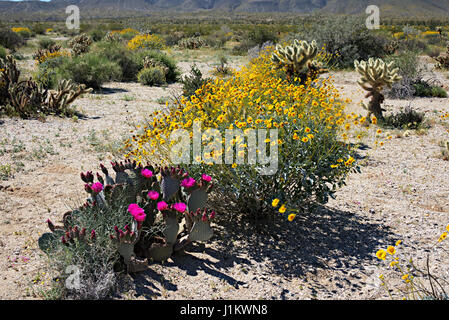 Wildflowers blooming in Anza-Borrego Desert State Park - Stock Photo