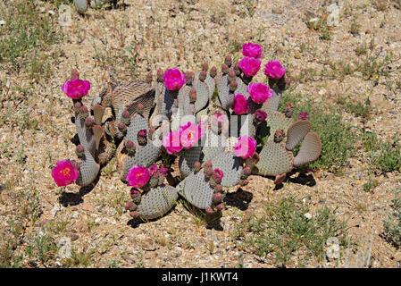 Beavertail Cactus in Bloom in Anza-Borrego Desert State Park - Stock Photo