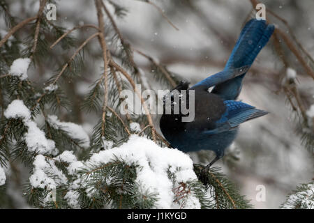 Steller's jay / Diademhaeher ( Cyanocitta stelleri ) in winter during snowfall, perched in a conifer tree, showing - Stock Photo