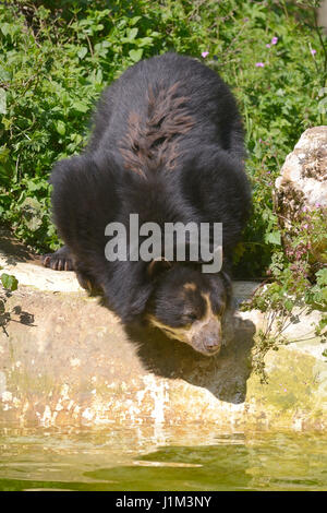 Andean bear (Tremarctos ornatus) near pond among vegetation, also known as the spectacled bear - Stock Photo