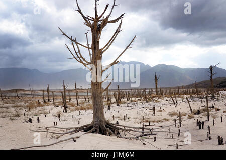 old dry tree in a drought stricken river bed - Stock Photo