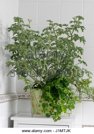 Pelargonium Grey Lady Plymouth Scented Geranium Mauve To