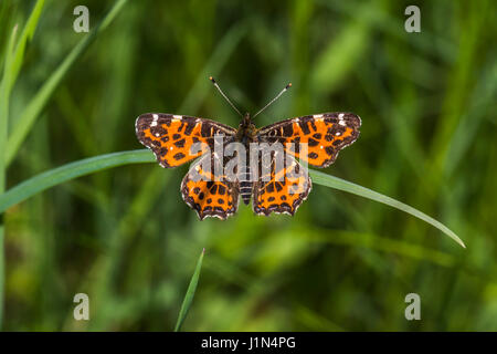 A map butterfly is sitting on a flower - Stock Photo