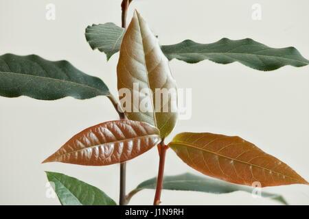 Laurel tree seedling white background macro shot - Stock Photo