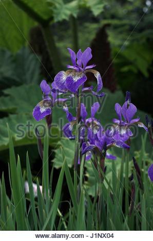 siberian iris planting instructions