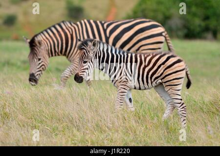 Burchell's zebras (Equus quagga burchellii), foal walking on grass, Addo National Park, Eastern Cape, South Africa, - Stock Photo