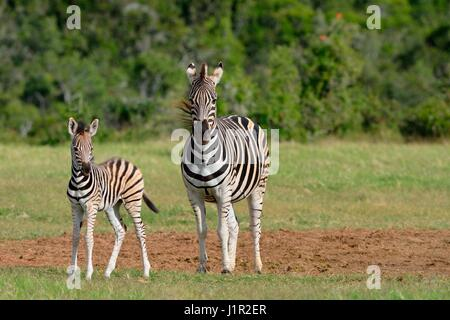 Two Burchell's zebras (Equus quagga burchellii), adult with foal on grassland, alert, Addo National Park, Eastern - Stock Photo