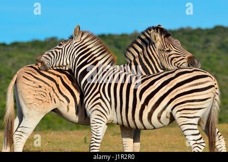 Two Burchell's zebras (Equus quagga burchellii), standing in grassland, Addo National Park, Eastern Cape, South - Stock Photo