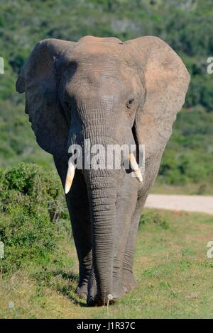 African bush elephant (Loxodonta africana), bull walking on grass along a dirt road, Addo Elephant National Park, - Stock Photo
