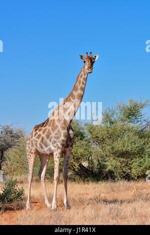 Namibian giraffe (Giraffa giraffa angolensis), adult female facing camera, Etosha National Park, Namibia, Africa - Stock Photo